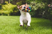 Jack Russell running with a colourful ball
